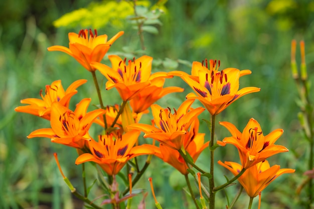 Fleurs de lis orange dans le jardin