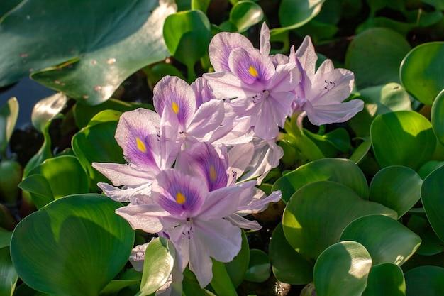 Fleurs de lotus aux feuilles vertes