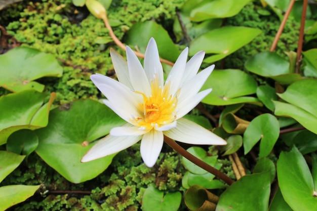 Les fleurs de lotus blanc fleurissent