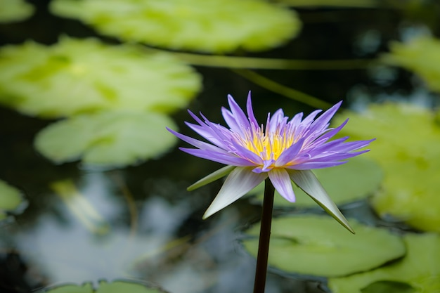 Fleurs de lotus dans des étangs naturels