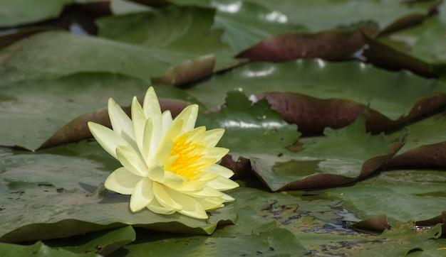 Fleurs de lotus jaune ou fleurs de nénuphar qui fleurit sur l'étang