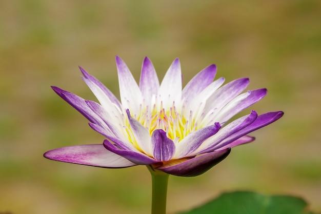 Fleurs de lotus pourpres fleurissent à merveille dans la nature