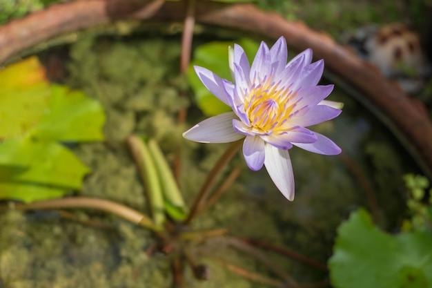 Fleurs de lotus violet dans la baignoire
