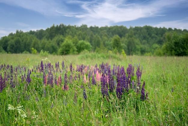 Des fleurs de lupin colorées fleurissent parmi l'herbe verte dans le champ d'été sous les arbres forestiers à ciel bleu à l'horizon