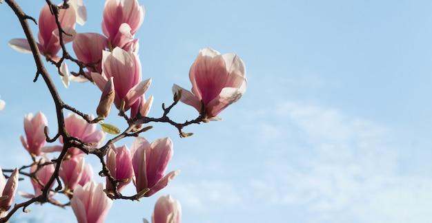 Fleurs de magnolia au printemps