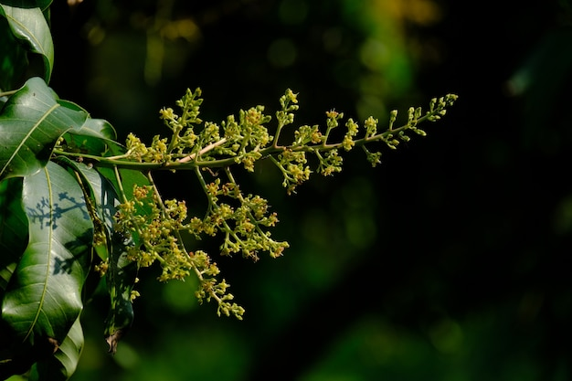Les fleurs de mangue sont fertilisées