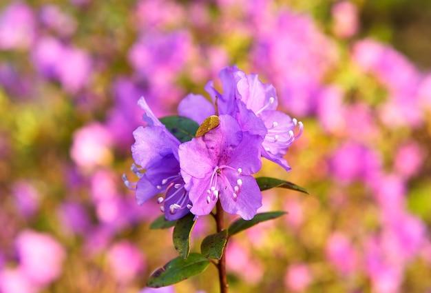 Fleurs de maralnik sur une branche gros plan des inflorescences de rhododendrons roses au printemps