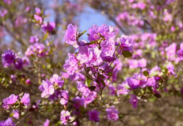 Fleurs maralnik sur fond bleu fleurs maralnik rose sur une branche libre
