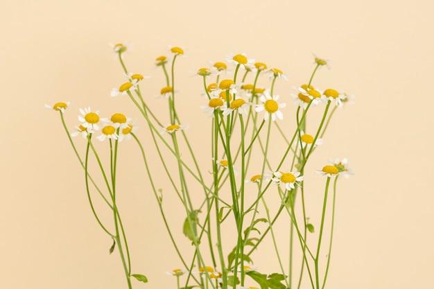 Fleurs de marguerite blanche sur fond beige