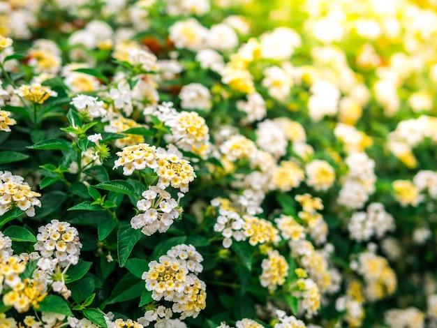 Fleurs de marguerite blanche de printemps blanc et jaune dans la nature