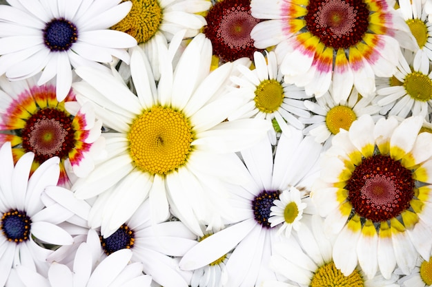 Fleurs, marguerite, camomille, gros plan