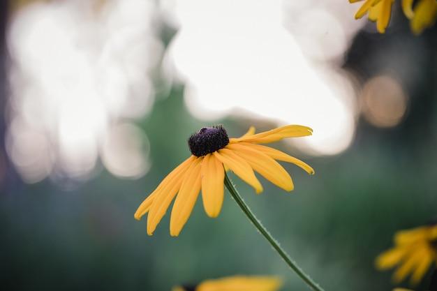 Fleurs de marguerite jaune en fleurs