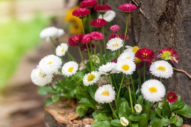 Fleurs de marguerite qui poussent dans le jardin