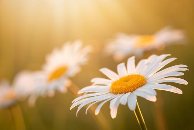 Fleurs de marguerite sous les chauds rayons du soleil jaune sur le pré le soir. champ d'été en fleurs, gros plan, espace de copie.
