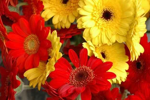 Fleurs de marguerites rouges et jaunes