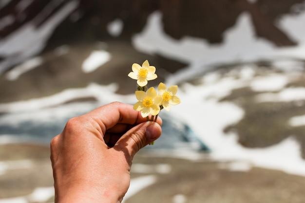 Fleurs de montagne à la main sur fond de montagnes enneigées. paysage de montagne. bouquet de fleurs jaunes