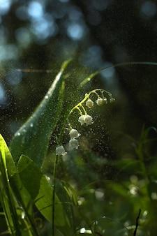 Fleurs de muguet blanc avec des gouttelettes d'eau au milieu de la forêt