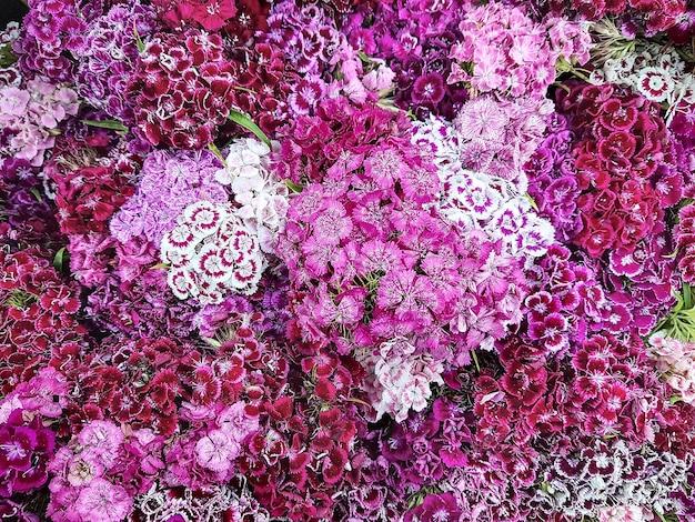 Fleurs multicolores oeillet turc dianthus barbatus fond floral de fleur d'oeillet turc