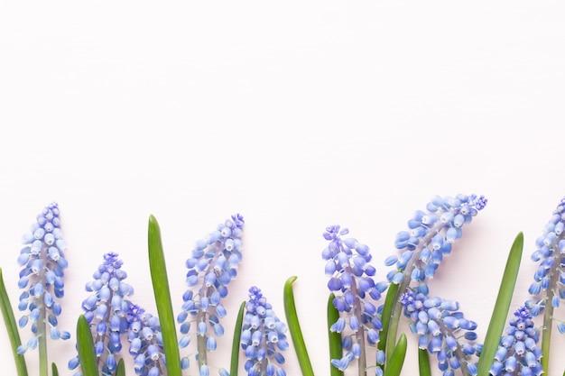 Fleurs de muscari bleu de printemps. fleurs de muscari sur fond pastel rose.