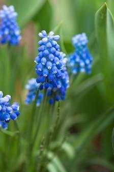 Fleurs de muscari dans le jardin de printemps
