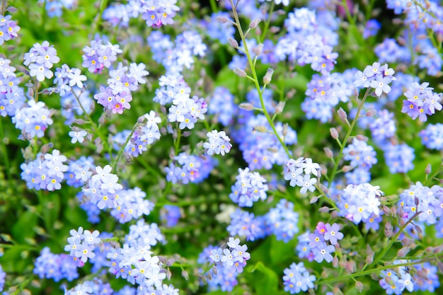 Fleurs de myosotis (myosotis sylvatica) dans un jardin. dof peu profond!