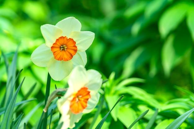 Fleurs de narcisse en fleurs jaunes et blanches dans le jardin de printemps, fond floral