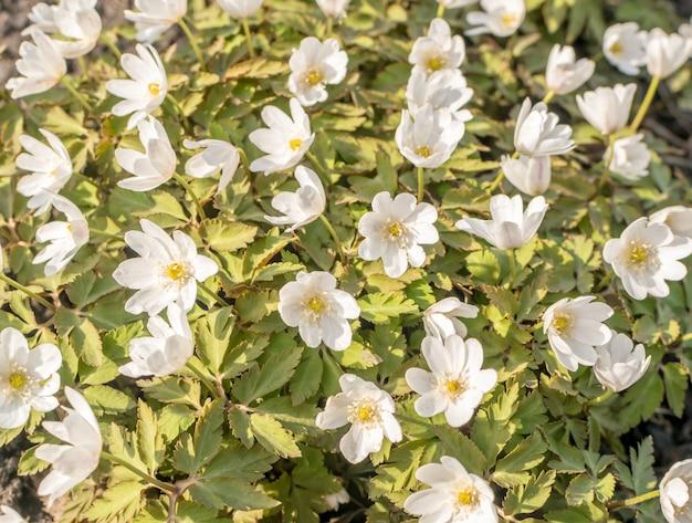 Fleurs de nemorosa ou thimbleweeds en fleurs