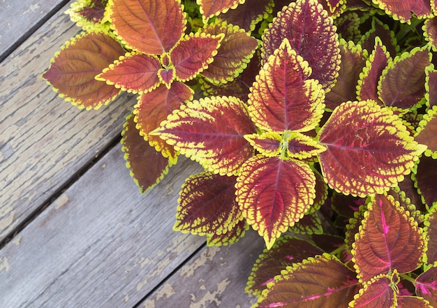 Fleurs de noël, poinsettias avec des feuilles vertes et roses pour le fond sur une vieille table en bois