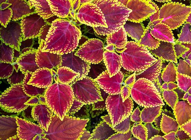 Fleurs de noël, poinsettias avec des feuilles vertes et roses pour le fond. vue de dessus