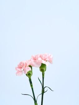 Fleurs oeillet rose