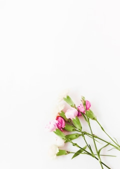 Fleurs d'oeillets roses sur fond blanc