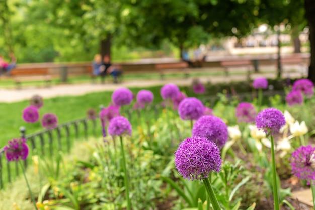 Fleurs d'oignon, fleurs violettes dans le parterre de fleurs