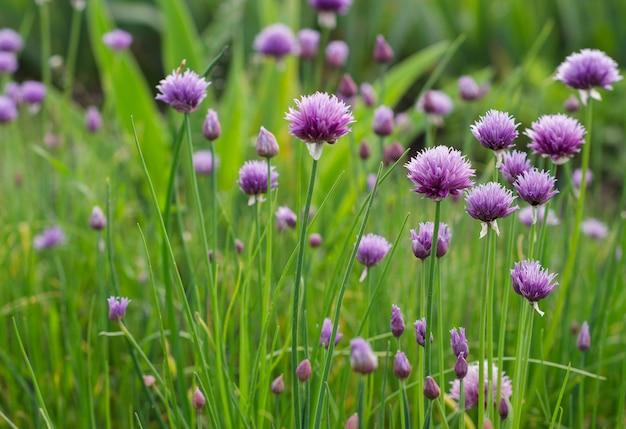 Fleurs d'oignon vert pourpre 2