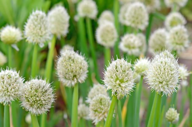Fleurs d'oignon