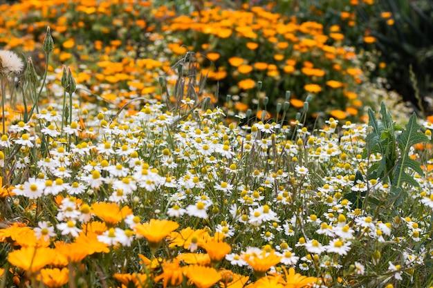 Fleurs d'oranger et camomille, fond orange. fond de nature