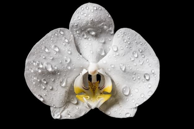 Fleurs d'orchidée blanches avec des nichons isolés sur fond noir. orchidée blanche.