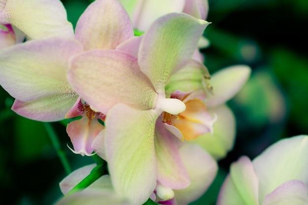 Fleurs d'orchidée rose gros plan sur fond de feuilles