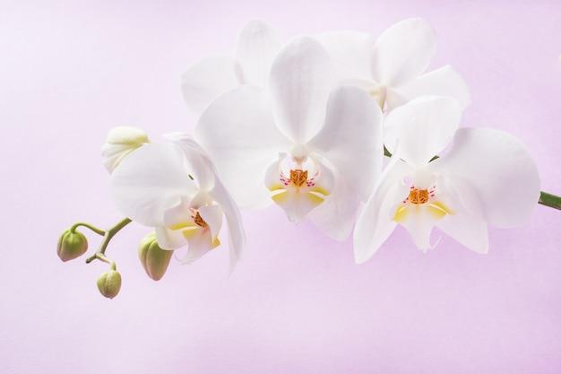 Fleurs d'orchidées blanches. concept saint valentin