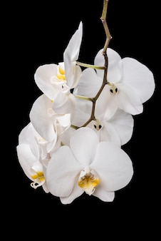 Fleurs d'orchidées blanches isolées sur fond noir. orchidée blanche.