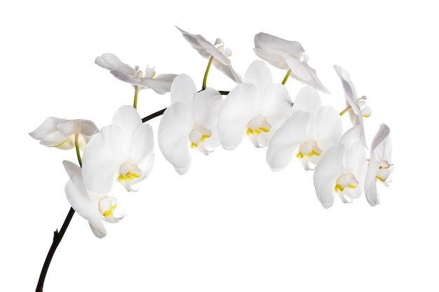 Fleurs d'orchidées blanches