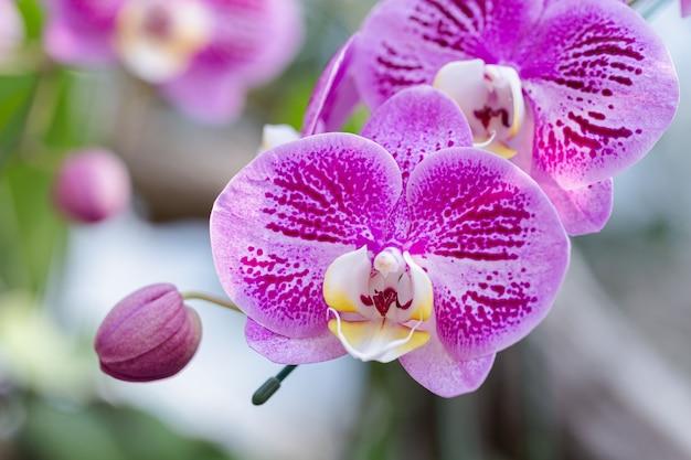 Fleurs d'orchidées dans le jardin. orchidacées phalaenopsis