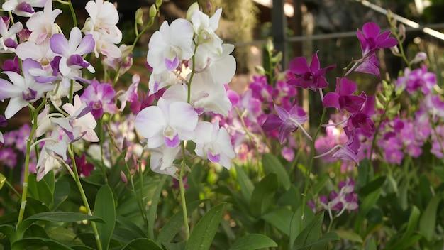 Fleurs d'orchidées lilas pourpres et magenta. jardin tropical. fleur florale exotique