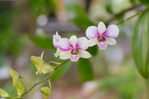 Fleurs d'orchidées mauves et roses, orchidaceae, phalaenopsis