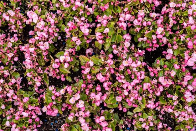 Fleurs ornementales de jardin. texture. vue de dessus