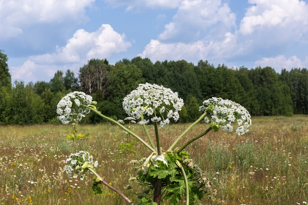 Fleurs de panais de vache