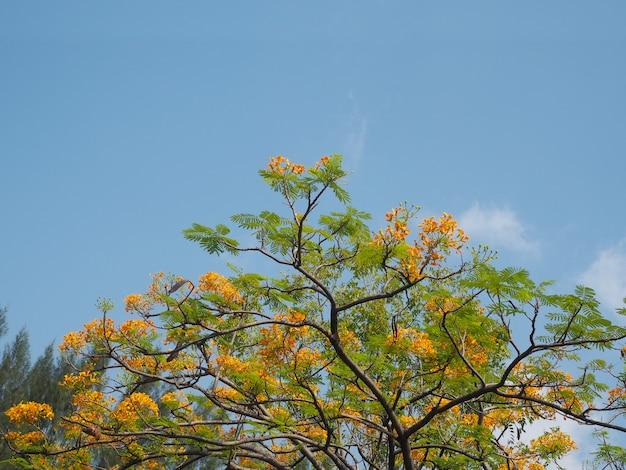 Fleurs de paon orange sur ciel bleu