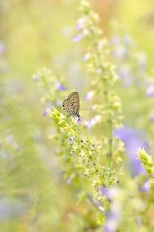 Fleurs de papillon