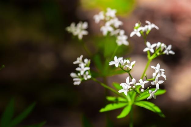 Fleurs parfumées de forêt de galium odoratum