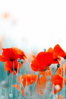 Fleurs de pavot, à l'extérieur