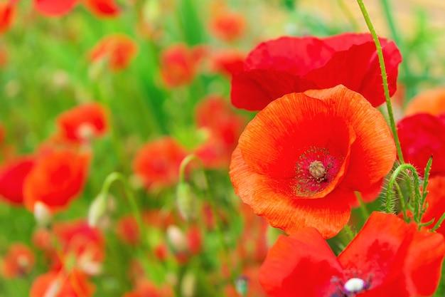 Fleurs de pavot ou papaver dans le jardin